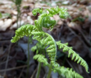 Uncurl, stretch and lengthen like this spring fern at Dyken Pond