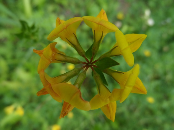 Mandala: bird's foot trefoil.